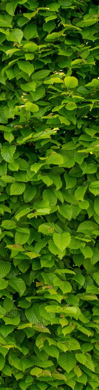 smal-hoej-intense-green-wallpaper-with-hornbeam-1407727_1920
